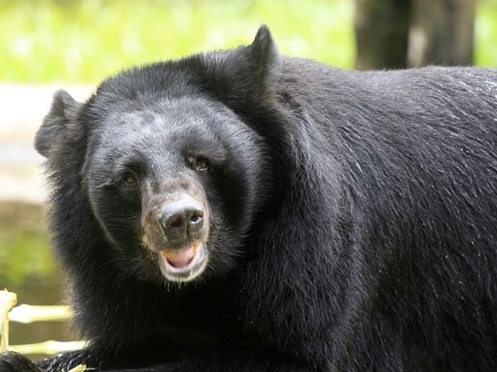 Vinpearl Safari hồi sinh thần kỳ cho gấu ngựa