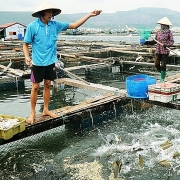 Tháo gỡ khó khăn trong sản xuất thủy sản do dịch bệnh