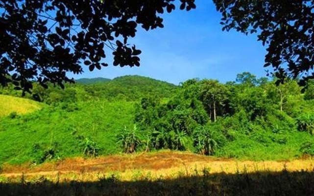 Chuối cô đơn, đặc sản Vườn quốc gia Phước Bình, tỉnh Ninh Thuận