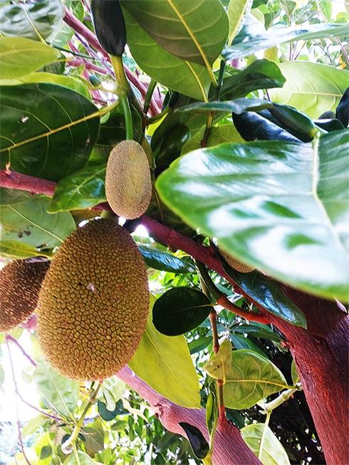 Hương vị quê nhà: Gỏi mít miệt vườn