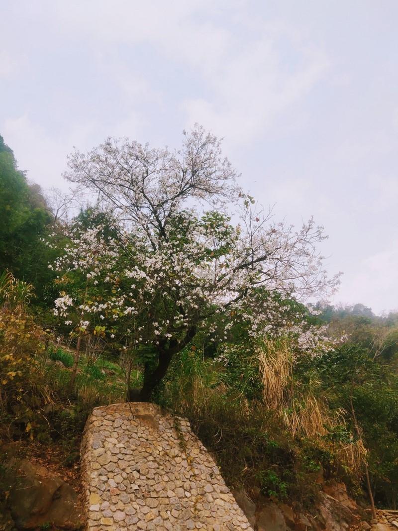 Đẹp ngỡ ngàng hoa ban Mộc Châu tháng Ba