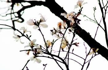 Ngắm hoa ban nở