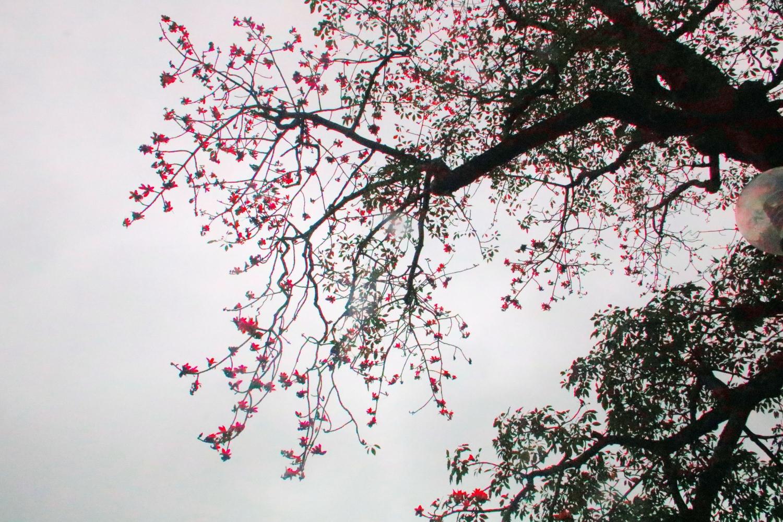 Cây Gạo Hồ Hoàn Kiếm