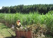 Chính thức áp dụng biện pháp chống bán phá giá với đường mía Thái Lan