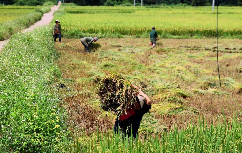 Mùa vàng ruộng bậc thang ở thung lũng Măng Ri