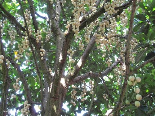 Gà om dâu - Đặc sản đất Phong Điền