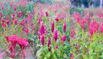 Say đắm cánh đồng hoa mào gà khoe sắc rực rỡ bên bờ công viên Văn Lang