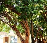 Hai cây tra do bác sĩ Yersin trồng được công nhận là cây di sản