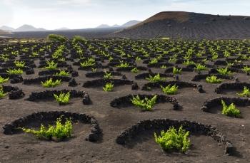 Độc đáo trồng nho trên miệng núi lửa