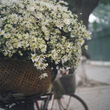 lai mot mua cuc hoa mi tren pho phuong ha noi