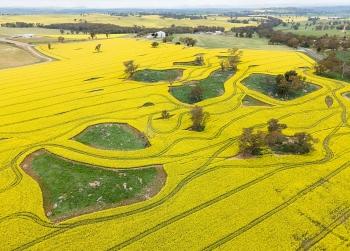 Những cánh đồng vàng bội thu ở Úc