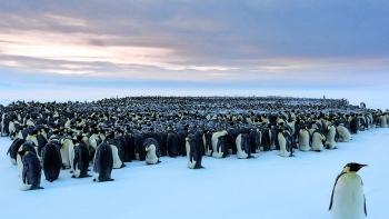 Cuộc sống của những chú chim cánh cụt ở vùng đất khắc nghiệt nhất thế giới