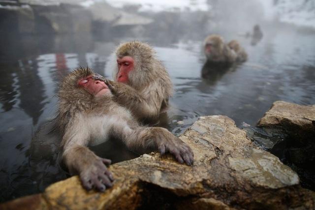 Ngắm khỉ tuyết Nhật Bản tắm nước nóng thư thái như con người