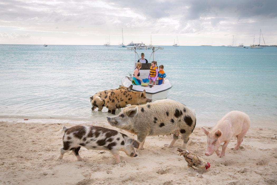 Thú vị hòn đảo có lợn biết bơi, giỏi xin ăn du khách