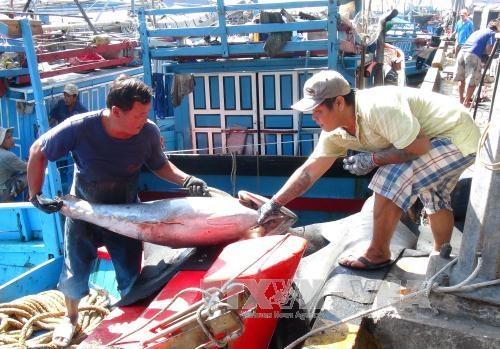 Ngư dân vận chuyển cá ngừ đại dương từ tàu cá lên bờ. Ảnh: Nguyên Lý/TTXVN
