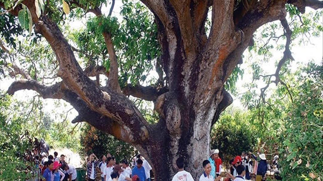 """""""Cụ xoài"""" trên 300 tuổi – cây di sản Việt Nam, điểm đến thú vị tại Bạc Liêu"""